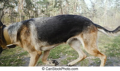 training., race, sheepdog, entraîné chien