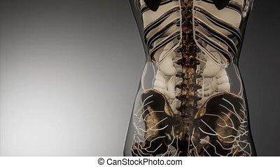 transparent, visible, corps humain, os
