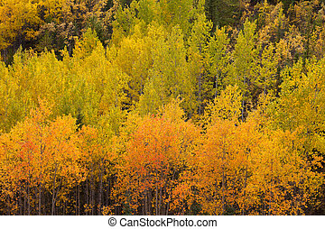 tremble, arbres, jaune, taiga, forêt, automne, boreal, yukon