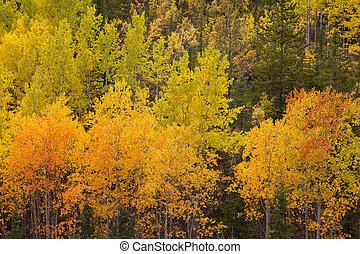 tremble, jaune, yukon, taiga, arbres, automne, forêt boréale