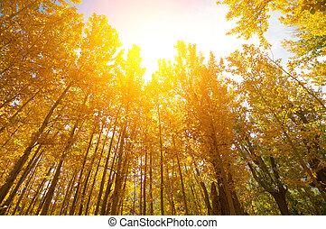 tremble or, arbres, automne