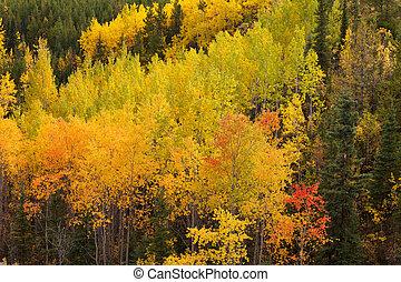 tremble or, arbres, taiga, forêt, automne, boreal, yukon