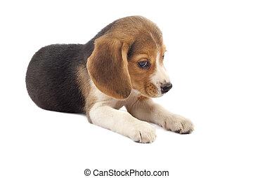 triste, chiot, beagle