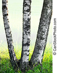 trois, arbres, bouleau