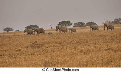 troupeau, distance, parc, promenades, éléphants, national