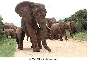 troupeau, famille, éléphants
