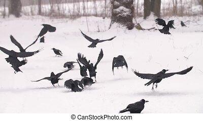 troupeau, partir, corbeaux