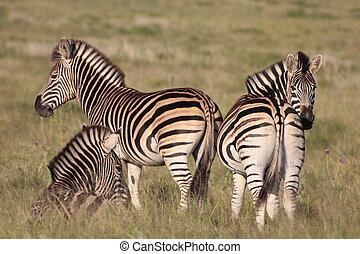 troupeau, zebra, burchell