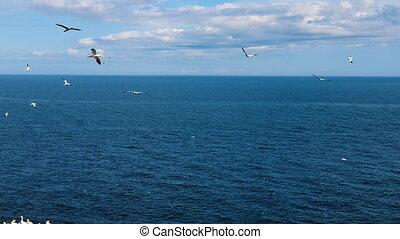 troupeaux, oiseaux mer, gaspesie