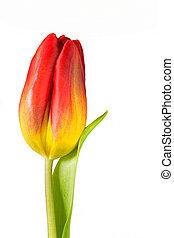 tulipe, fond blanc, jaune, rouges