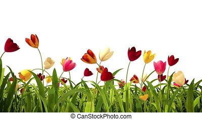 tulipes, coloré, canal, alpha