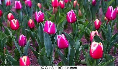 tulipes, extérieur, vidéo, coloré, parc