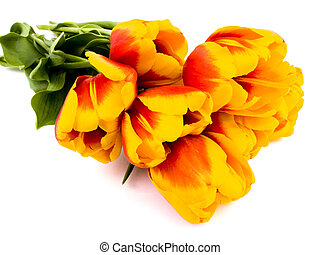 tulipes, fond blanc