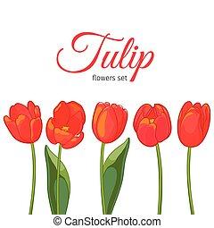 tulipes, illustration, arrière-plan., vecteur, blanc rouge