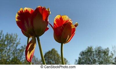 tulipes, mouvement, rouges, vent, closeup, 4k, vidéo