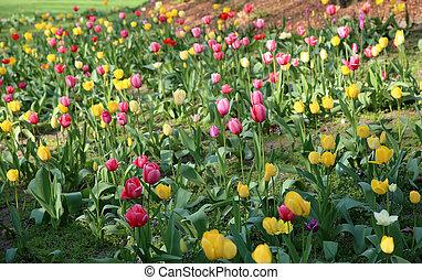 tulipes, parc, coloré