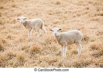 tw, regarder, appareil photo, pâturage, blanc, agneaux