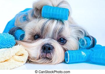 tzu, style cheveux, chien, shih