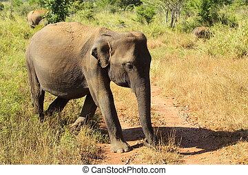 udawalawe, éléphant