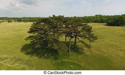 ukraine, coup, pré, pittoresque, bosquet, pin, élevé, arbres verts, aérien
