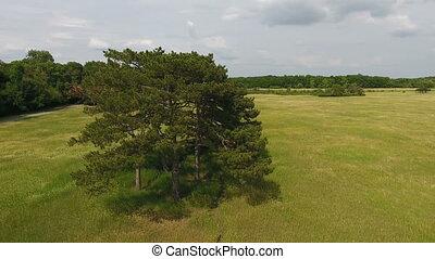 ukraine, coup, pré, pittoresque, bosquet, pin, merveilleux, arbres, aérien