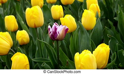 une, tulipe jaune, pourpre, tout