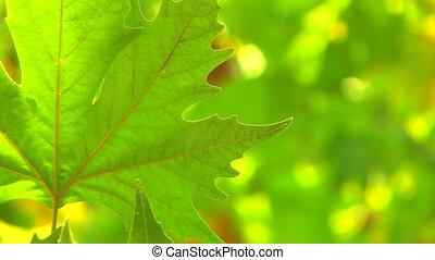 unique, feuille, frais, vert