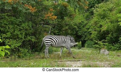 unique, pâturage, zebra