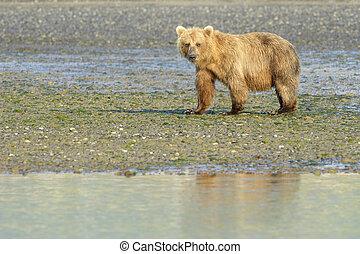 urus, (, grizzly, horribilis), arctos