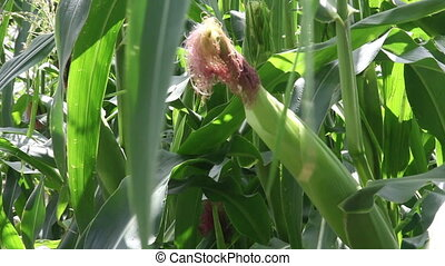 usines, champ, maïs