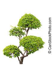 usines, décoratif, bougainvilleas, sur, isolé, buisson, fond, blanc