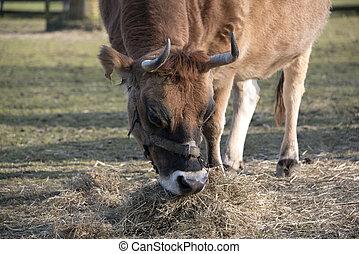vache, herbe, brun, manger, grand