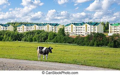 vache, route