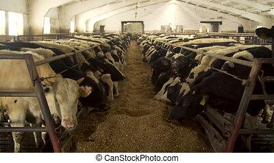 vaches, alimentation, ferme, laitage, étable