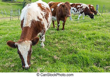 vaches, brun, herbe, manger