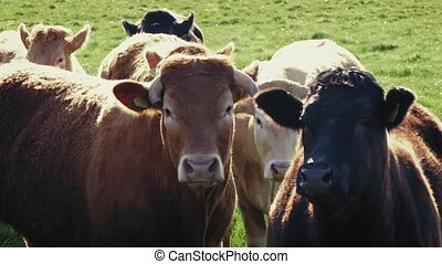 vaches, champ, groupe