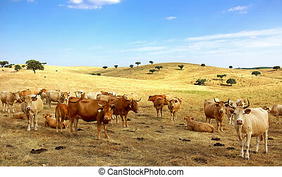 vaches, field.
