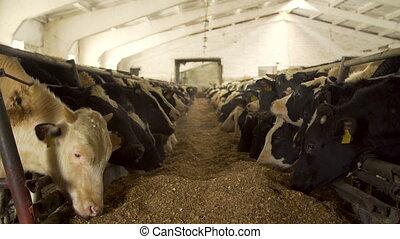 vaches, laitage, alimentation, étable, ferme