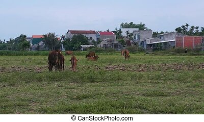 vaches, meadow., vert, pâturage