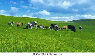 vaches, pâturage, troupeau