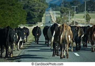 vaches, pays, marche, route