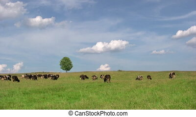 vaches, pré vert