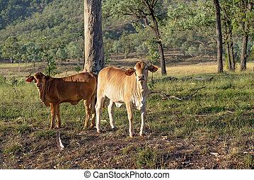vaches, tôt, lumière, matin