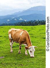 vaches, xinjiang, herbe, manger