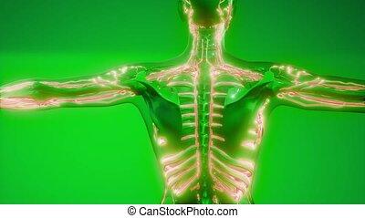 vaisseaux, corps, sanguine, humain