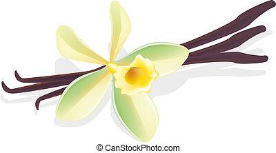 vanilla., fleur, illustration., pods., vecteur, séché