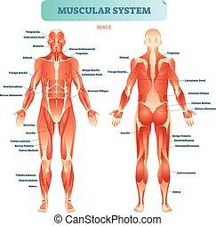 vecteur, anatomique, corps, mâle, pédagogique, plan, muscle, musculaire, entiers, système, poster., illustration, diagramme