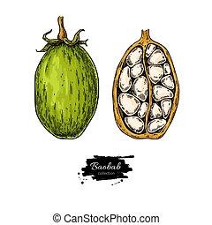 vecteur, baobab, drawing., organique, superfood, nourriture, sketch., sain
