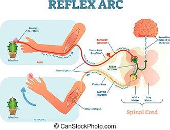 vecteur, corde, relais, illustration, stimulus, réflexe, neurone, neurone, anatomique, sensoriel, spinal, arc, moteur, tissue., muscle, plan, chemin