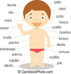 vecteur, corps humain sépare, vocabulaire, illustration, espagnol